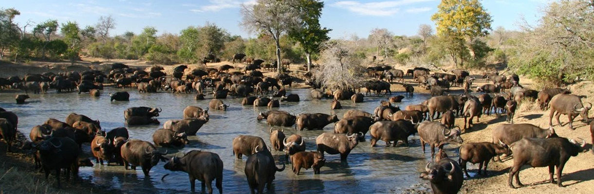 Chapungu Luxury Tented Camp Buffalo Herds