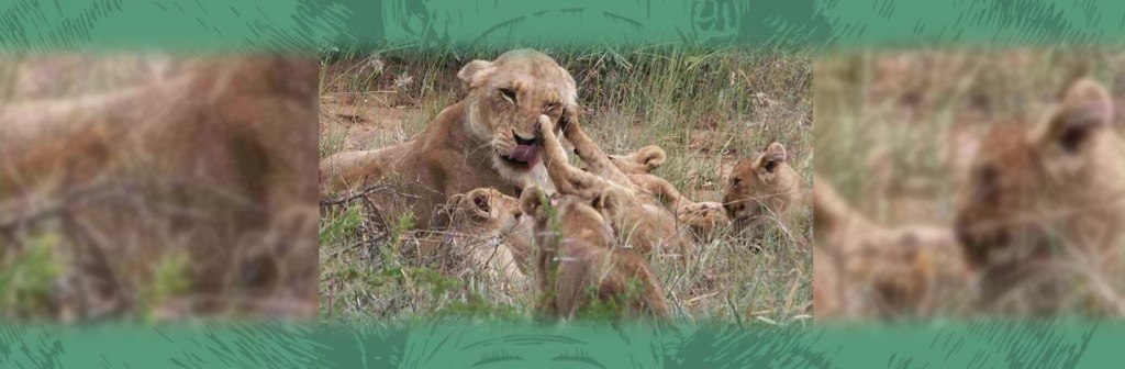 Shumbalala Game Lodge Lion Pride