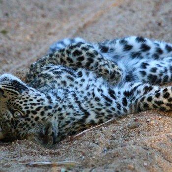 Thornybush Game Lodge Leopard