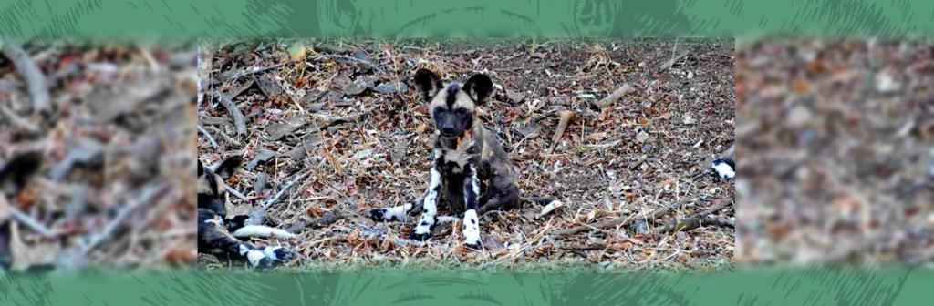 Waterbuck Game Lodge Wild Dog Pup