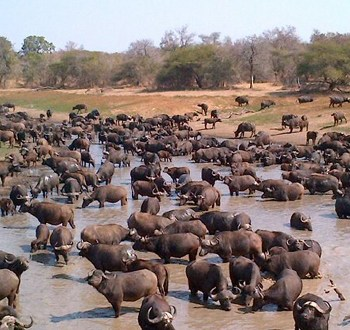 Mjejane River Lodge Waterhole Migration