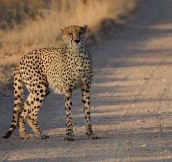 Mjejane River Lodge Young Cheetah