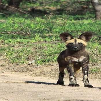 Hoyo-Hoyo Safari Lodge Wild Dogs