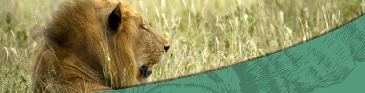 14 Days Tintswalo, Londolozi and Garden Route Kruger Private Game Reserve lion Banner