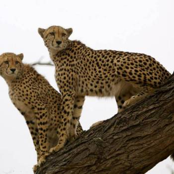 Machaton Private Camp Cheetahs