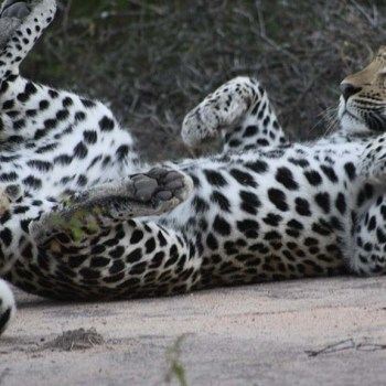 Chapungu Luxury Tented Camp Wildlife Leopard