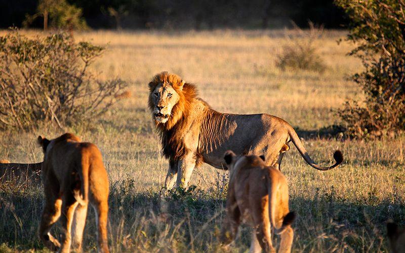 Mjejane River Lodge Lion Pride