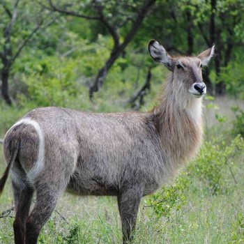 Serondella Game Lodge Wildlife Buck