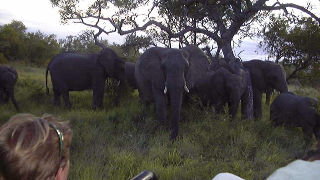 Shumbalala Game Lodge Safari Drives Elephant