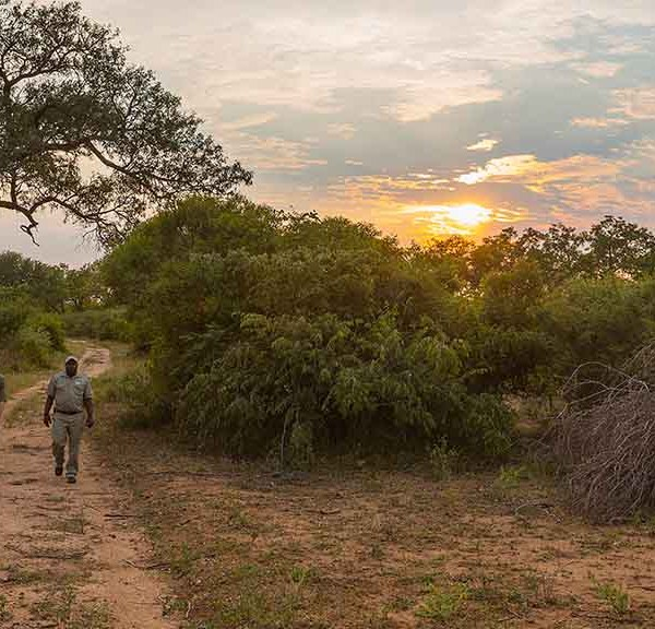 Thornybush Game Lodge Walking Safari