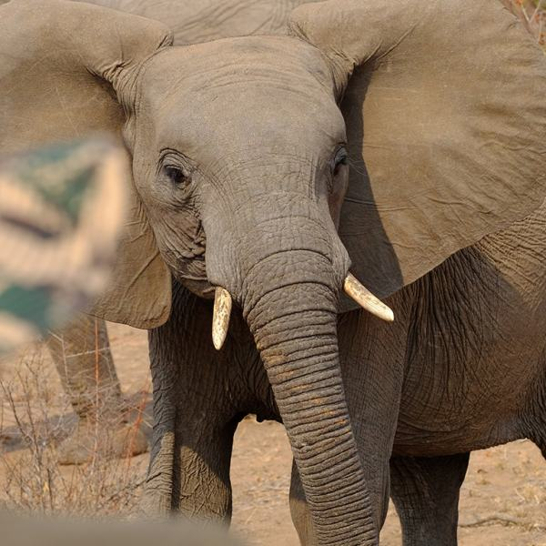 Bateleur Main Camp Elephant