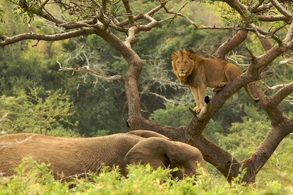 Busisa Safari Lodge Lion