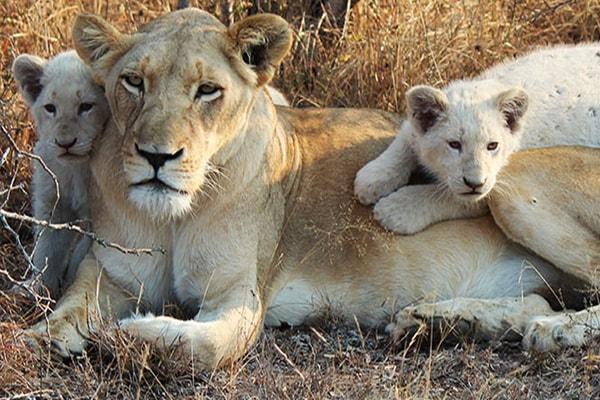 Elandela Private Game Reserve White Lions