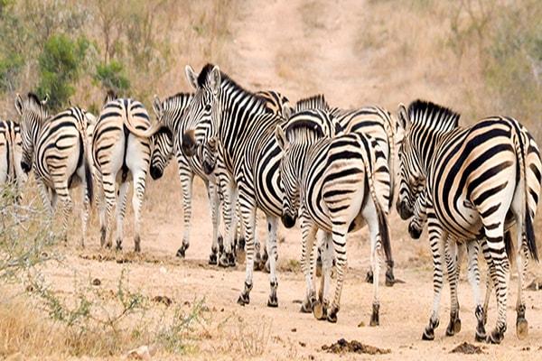 Elandela Private Game Reserve Zebra