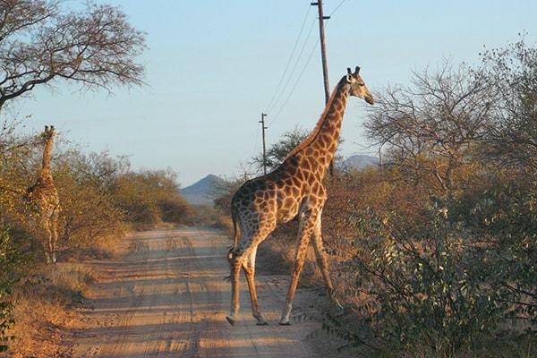Ezulwini Resorts Giraffes