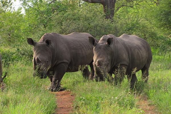 Ezulwini Resorts Rhinos
