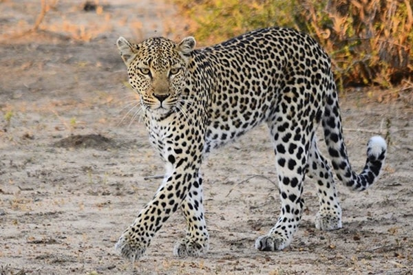 Gomo Gomo Game Lodge Leopard