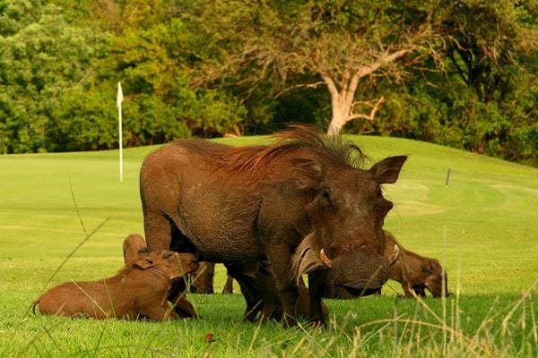 Hans Merensky Hotel & Spa Warthog Family