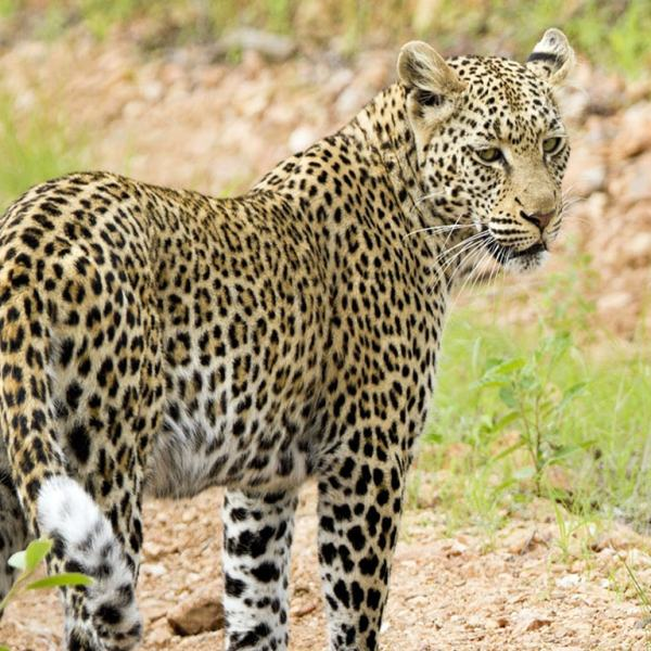 Kings Camp Leopard