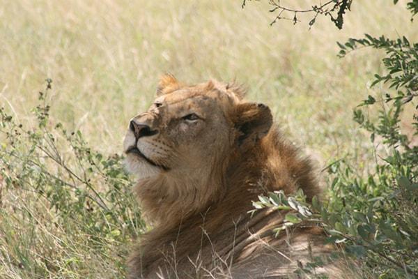 Kurhula Wildlife Lodge Male Lion