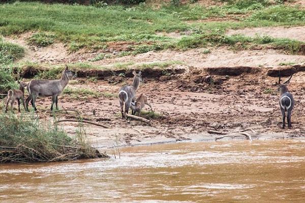 Kurhula Wildlife Lodge Waterbuck Family