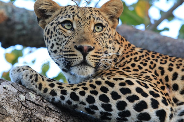 KwaMbili Game Lodge Leopard