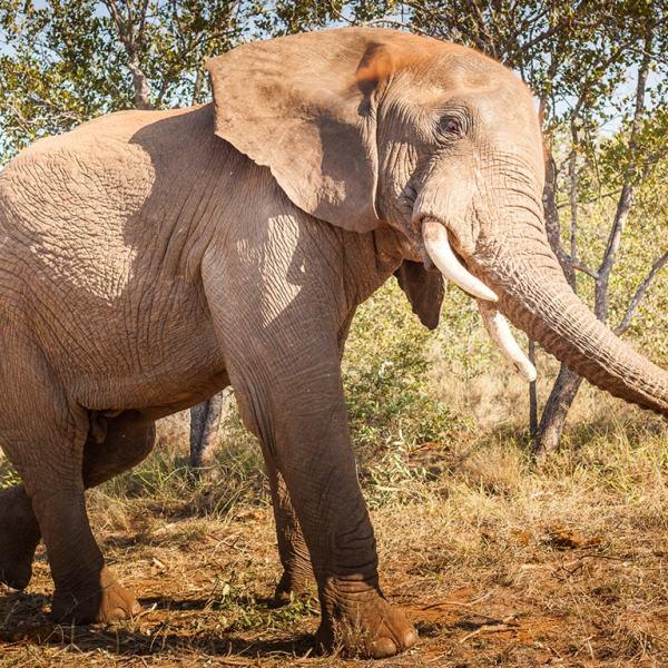Little Garonga Elephant