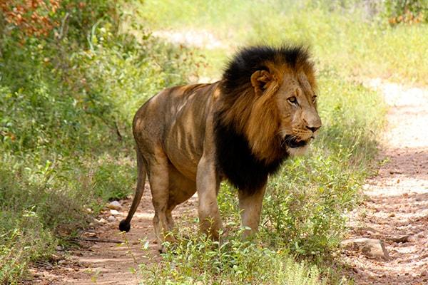 Makalali Private Game Lodge Lion