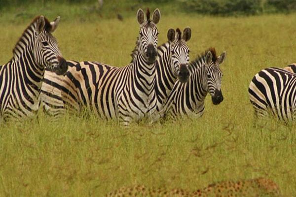 Makalali Private Game Lodge Zebra