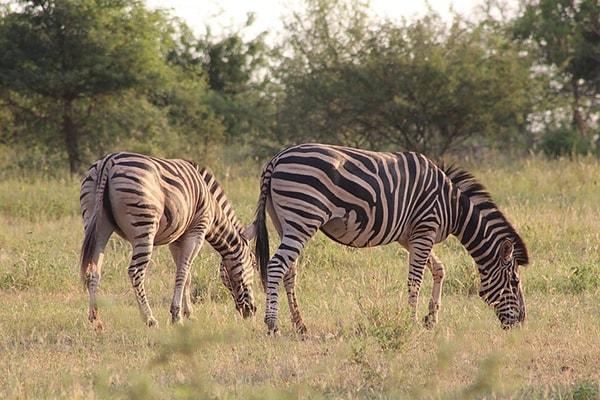 Mbizi Bush Lodge Zebras