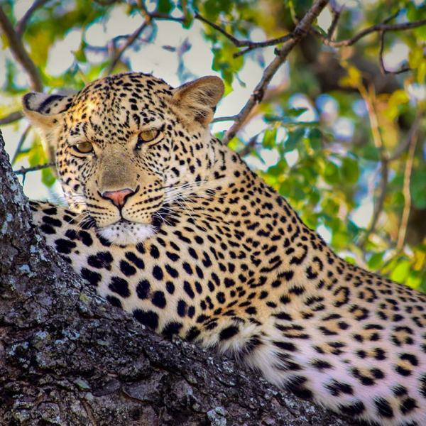 Ngala Tented Camp Leopard in a Tree