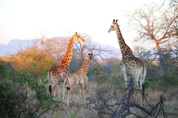 Nkelenga Tented Camp Giraffes