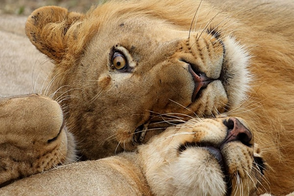 Sausage Tree Safari Camp Lions