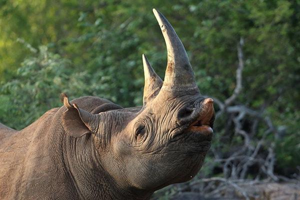 Sausage Tree Safari Camp Male Rhino