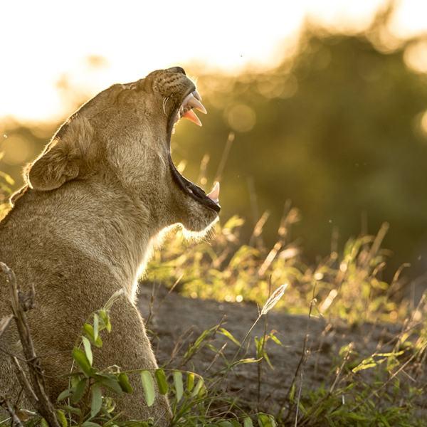 Singita Sweni Lodge Lioness