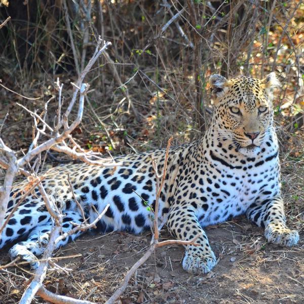 Tangala Safari Camp Leopard