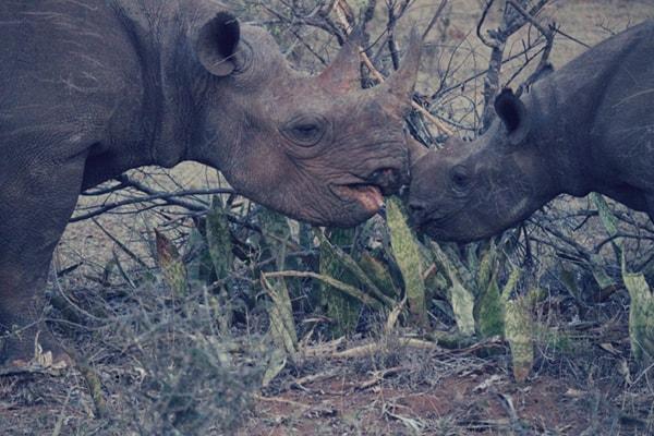 Toro Yaka Bush Lodge Rhinos
