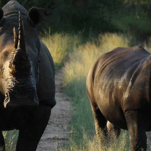 nDzuti Safari Camp Rhinos