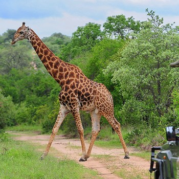 Kruger National Park Giraffe Observation