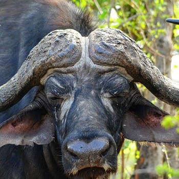 Bateleur Main Camp Cape Buffalo