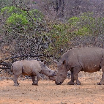 Bateleur Main Camp Rhinos