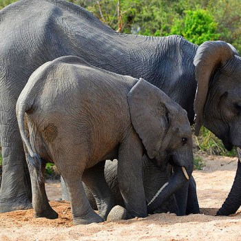 Bateleur Mobile Camp Elephants