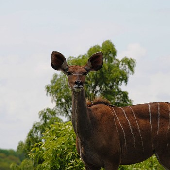 Chapungu Luxury Tented Camp  Female Kudu