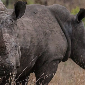 Gomo Gomo Game Lodge Rhinos