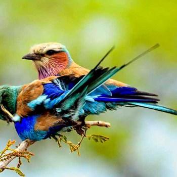Honeyguide Khoka Moya Camp Lilac Breasted Roller