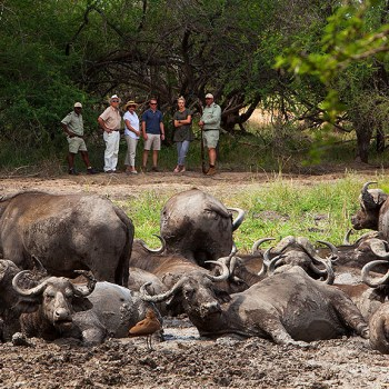 Kapama Southern Camp Cape Buffalo