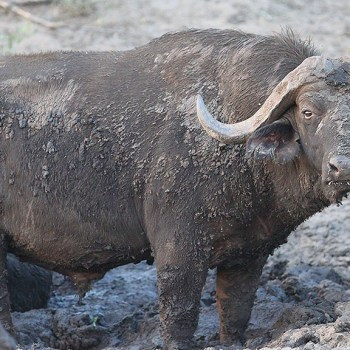 Makumu Private Game Lodge Cape Buffalo