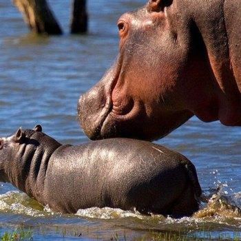Mjejane River Lodge Hippo