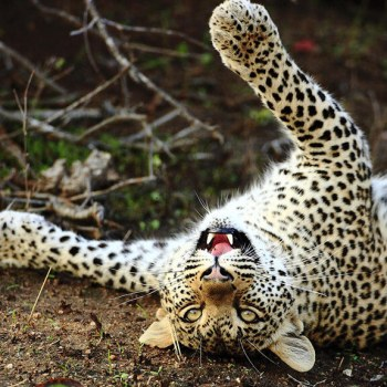 Motswari Geigers Camp Leopards