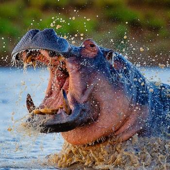 Motswari Private Game Reserve Hippo